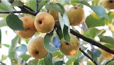果蔬成熟丰收的秋季,吃什么水果最养人呢