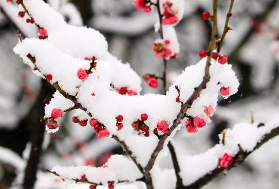 禅修天地:梅花与禅悟