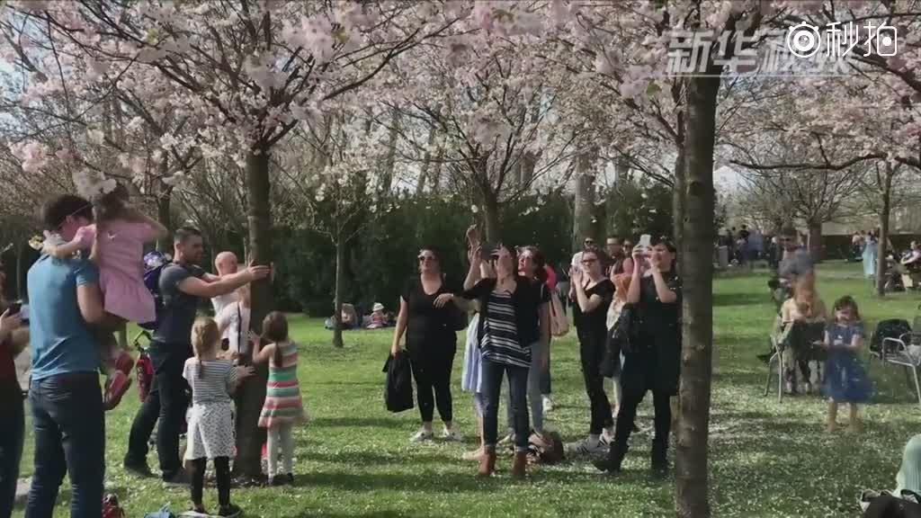 日光与花海 烂漫柏林樱花节!
