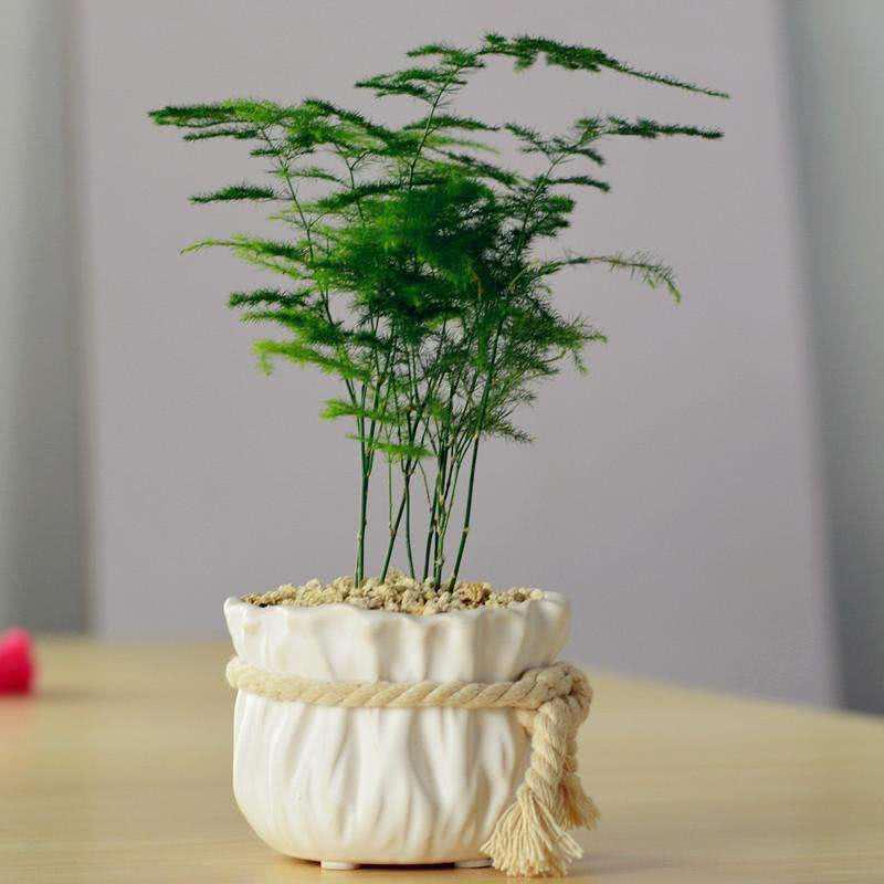 文竹原来要这样养,才不会发黄不长藤蔓,从此年年翠绿!