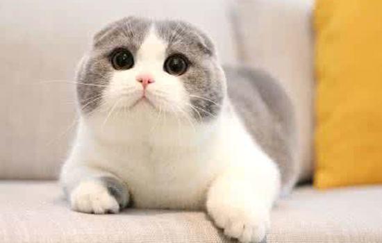 苏格兰折耳猫的图片大全及介绍 折耳猫 苏格兰 美国短毛猫 新浪网