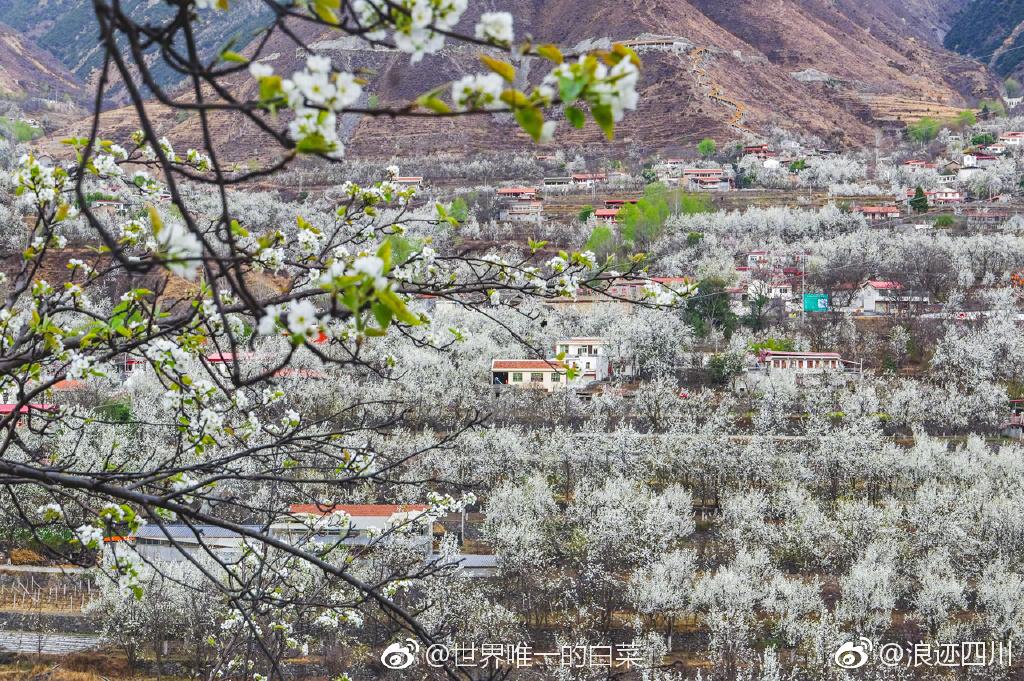 三月金川梨花万亩绽放,老葡京赌场:盛开如雪。梨花色白