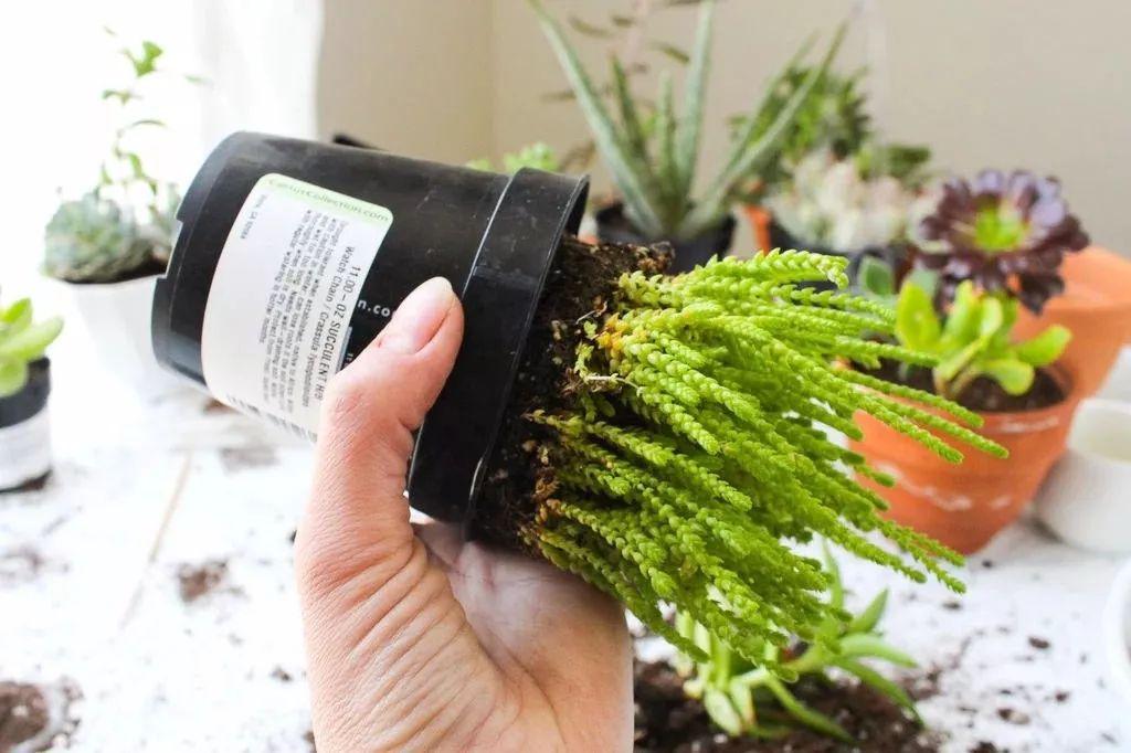 给多肉植物换盆的时候注意这几点,养家里几年都不会死