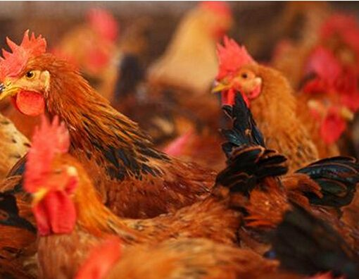 研究发现,下一波的禽流感可能比以往更糟,病理学家找到原因
