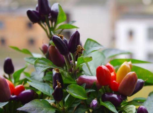 农村的 七彩 辣椒,腌制味道好,能盆栽种植,如今城里20一斤