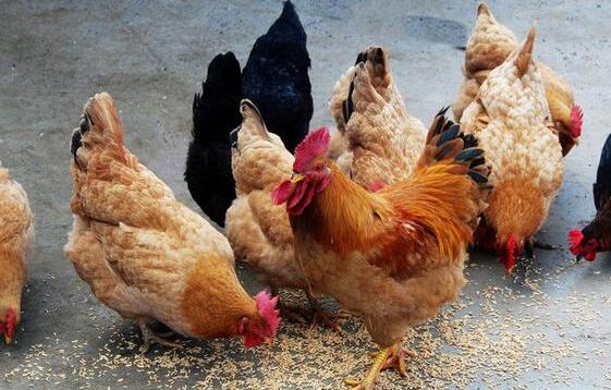 养鸡要在养的环节上效益高,提高鸡万博manbetx客户端利用率,如何给料更合理?