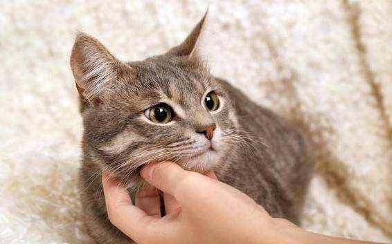 公猫发情特征声音图片