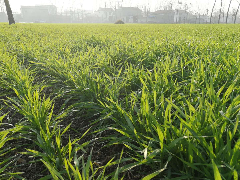 小麦打完除草剂后遇到了下雨天,有没有效果 需要重喷吗