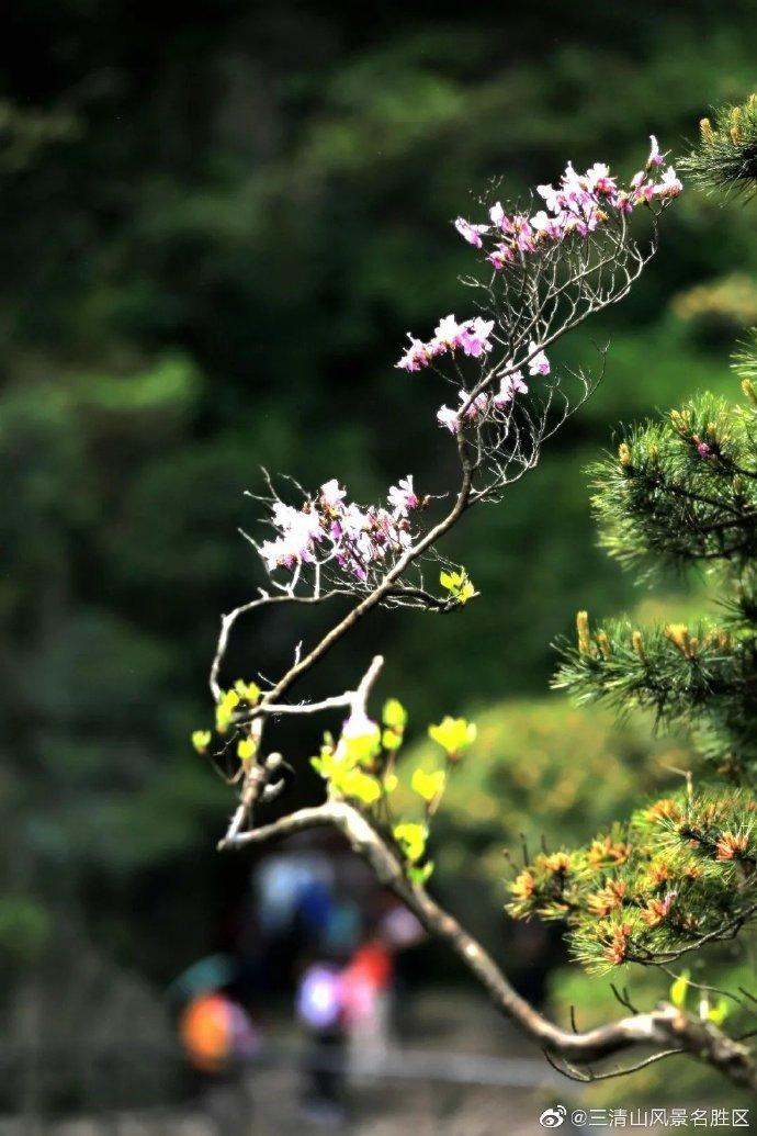 立夏之后 三清山杜鹃花开始迅猛增长