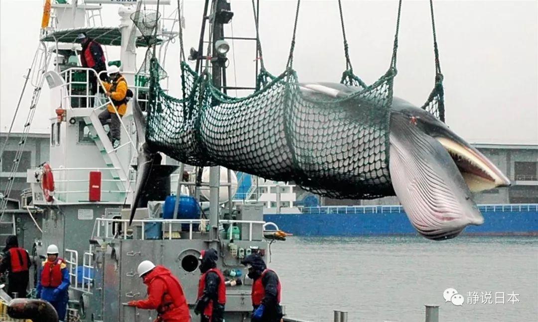 我问日本人:你们为啥要捕鲸?