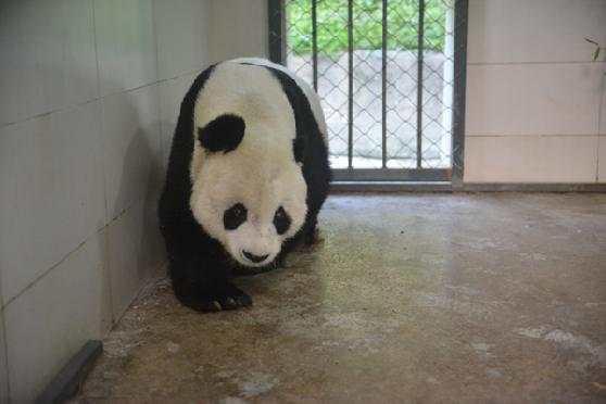 """旅美大熊猫回国 大熊猫""""高高""""今年已经28"""