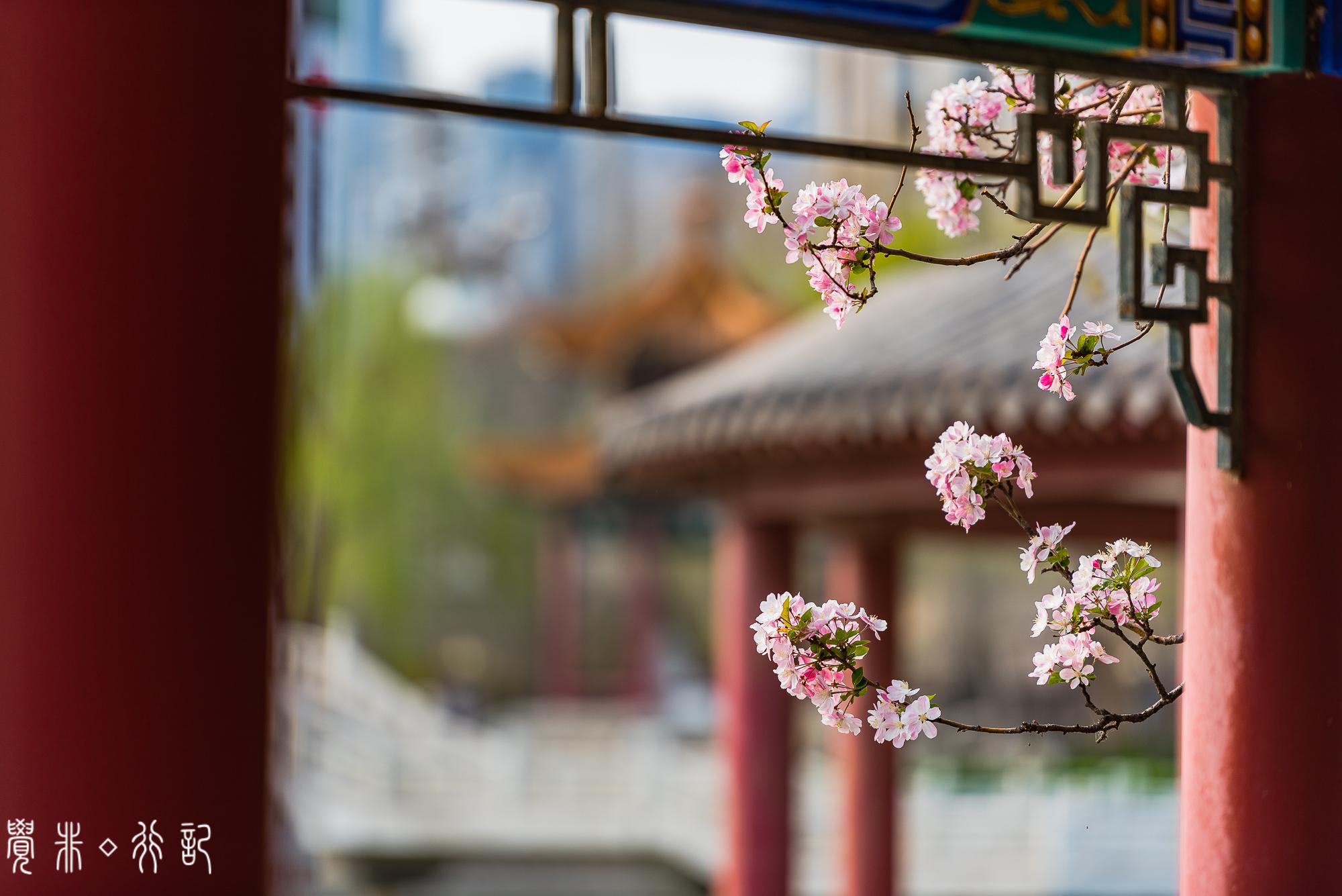 天津成了海棠的世界