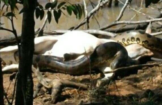 亚马逊森蚺捕食家牛, 村里人都来抓, 整整七个人才制服这巨物