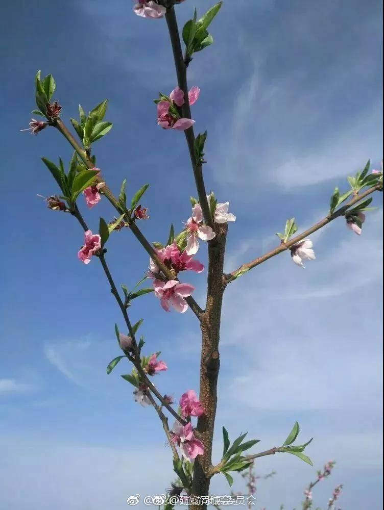 春天来了,庙沟的油菜花开了