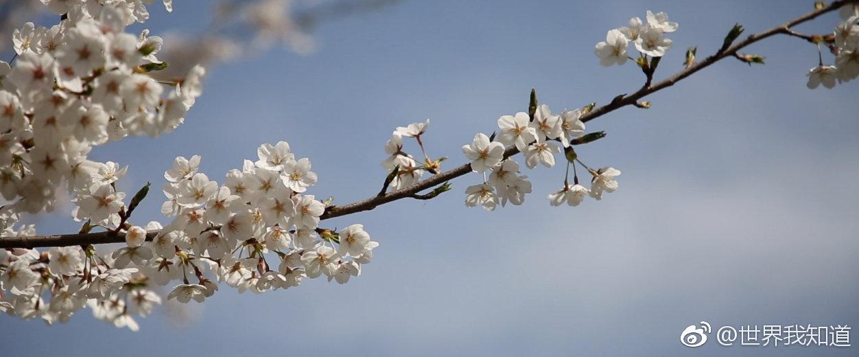 除了日本、武大,北京也可以看樱花