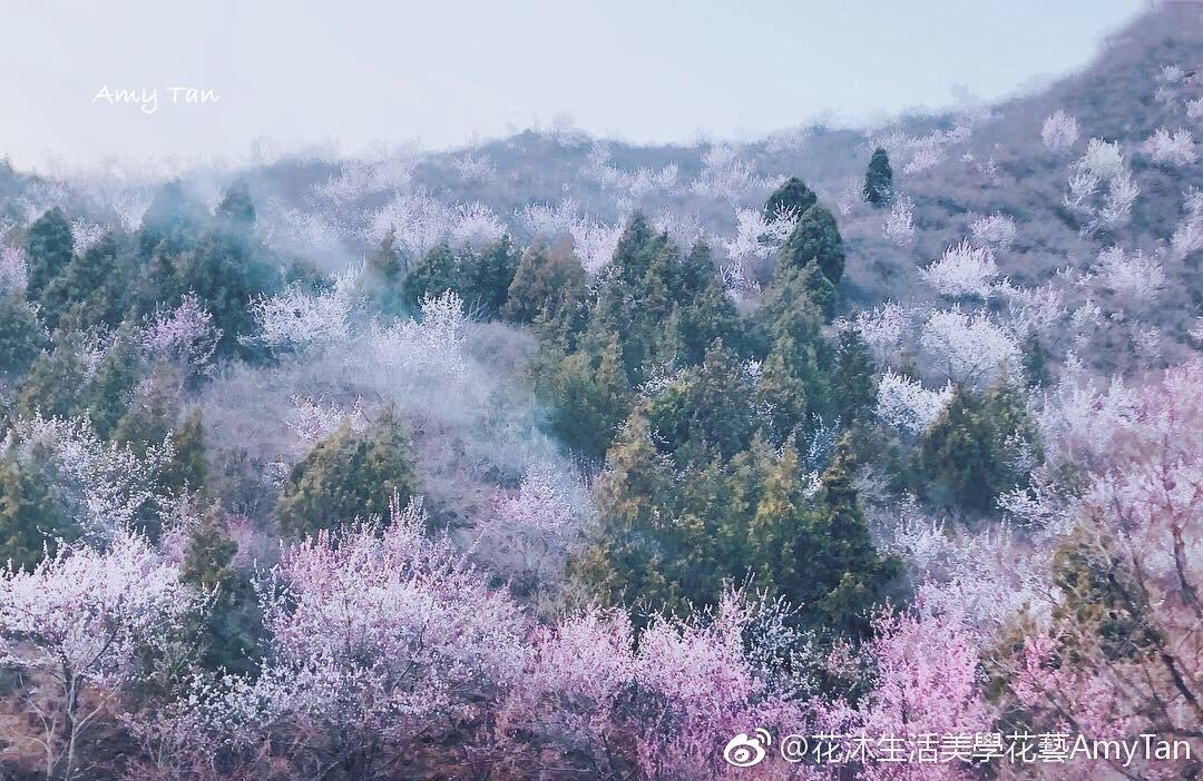 北京懷柔漫山遍野的粉紅桃花