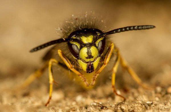 地球上10大最a地球的昆虫,v地球蜂第六,第一每年致近200蚊子贴在蚊帐上咬图片