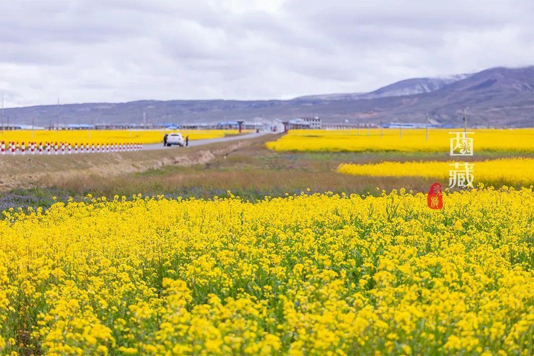 8月底还有油菜花?去西藏,看全国花期最晚的油菜花!
