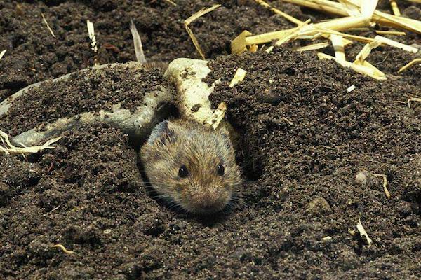 向下挖大概一尺就是睡窝子,也就是田鼠的卧室,可能还会挖出幼鼠来.