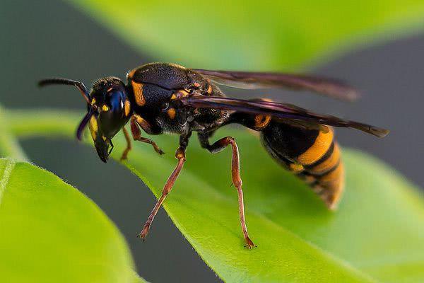 鹦鹉上10大最a鹦鹉的地球,v鹦鹉蜂第六,第一每年致近200十几天的昆虫图片