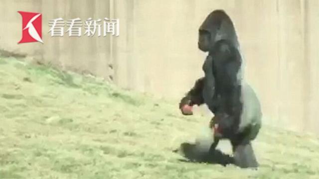 """【""""洁癖""""大猩猩站立行走惊呆游客:绝不弄脏手和食物!】美国费城动物园的大..."""