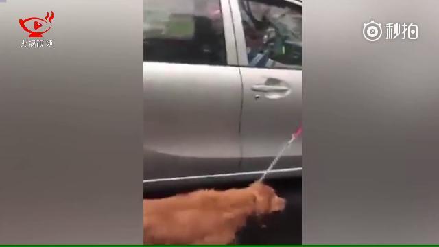 一只黄狗被拴在一辆银色丰田车上,在倾盆大雨中奋力紧跟车速奔跑,这段视频一...