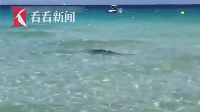 3米鲨鱼游到岸边吓坏游客 疑因头部受伤迷失方向