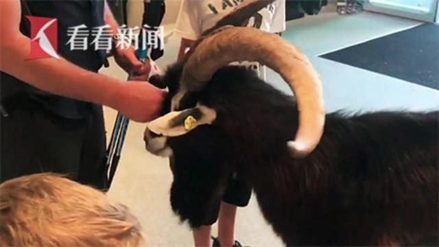 又有动物成精了!山羊难耐酷暑走进商店蹭空调 离开时一步三回头