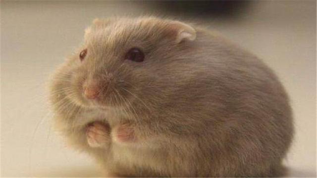 涨知识啦!仓鼠的寿命居然是这么久