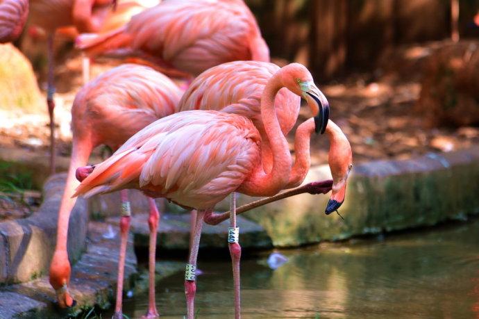 充满少女心的粉红火烈鸟