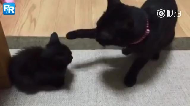 日本一位主人表示,他家的大黑猫战斗力真是令人叹为观止……  