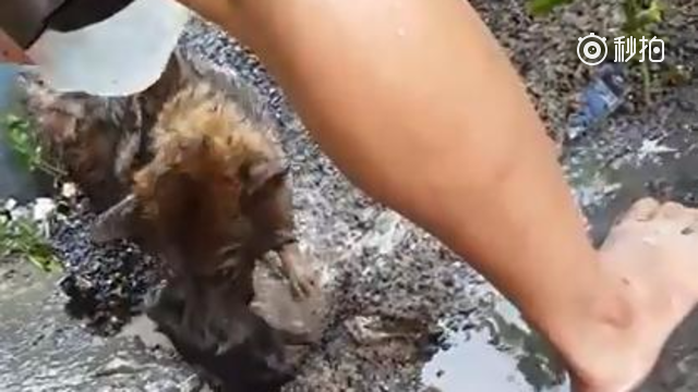 伟大的母亲不分物种!一窝小狗在狗窝里被雨水淹没,情况非常危急,狗妈妈焦急...
