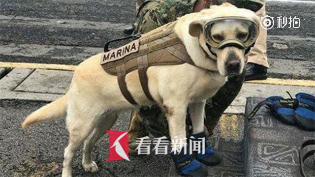 """狗中豪杰!强震后拯救52条人命 墨西哥搜救犬被称""""英雄"""""""