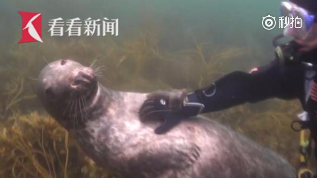 """海豹撒娇拉潜水员手求抚摸 闭眼翻肚享受""""按摩"""""""