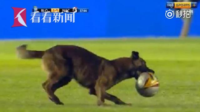 球赛太无聊连狗狗都看不下去 冲进赛场咬走足球狂奔
