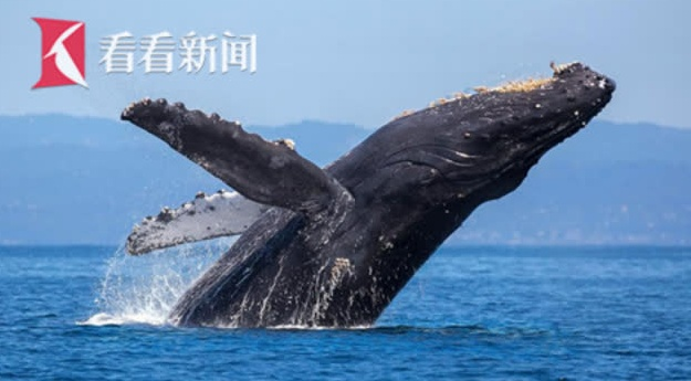"""座头鲸发现快撞人瞬间""""急刹车""""《蓝色星球2》摄影师差点被误吞"""