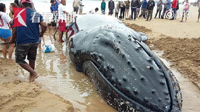 座头鲸海滩不慎搁浅 众人铲沙数小时助其回归海洋