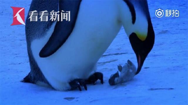 企鹅宝宝活活冻死 妈妈难以接受