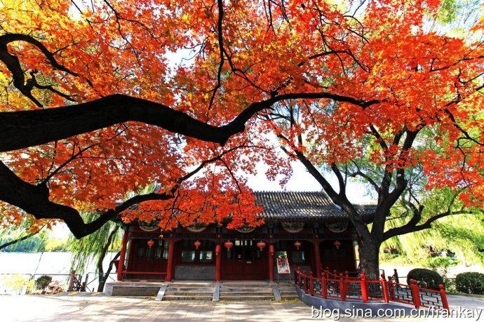 北京市最美的元宝枫
