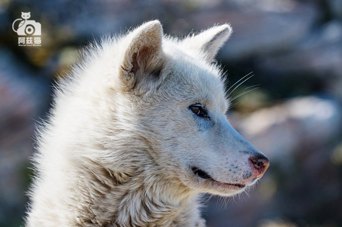 在极地遇到萌萌哒格陵兰犬