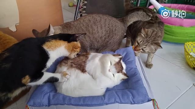 """主人给自家猫买了个会""""喵""""的猫咪枕头,结果画面并没有想象中的很萌很温馨 ..."""