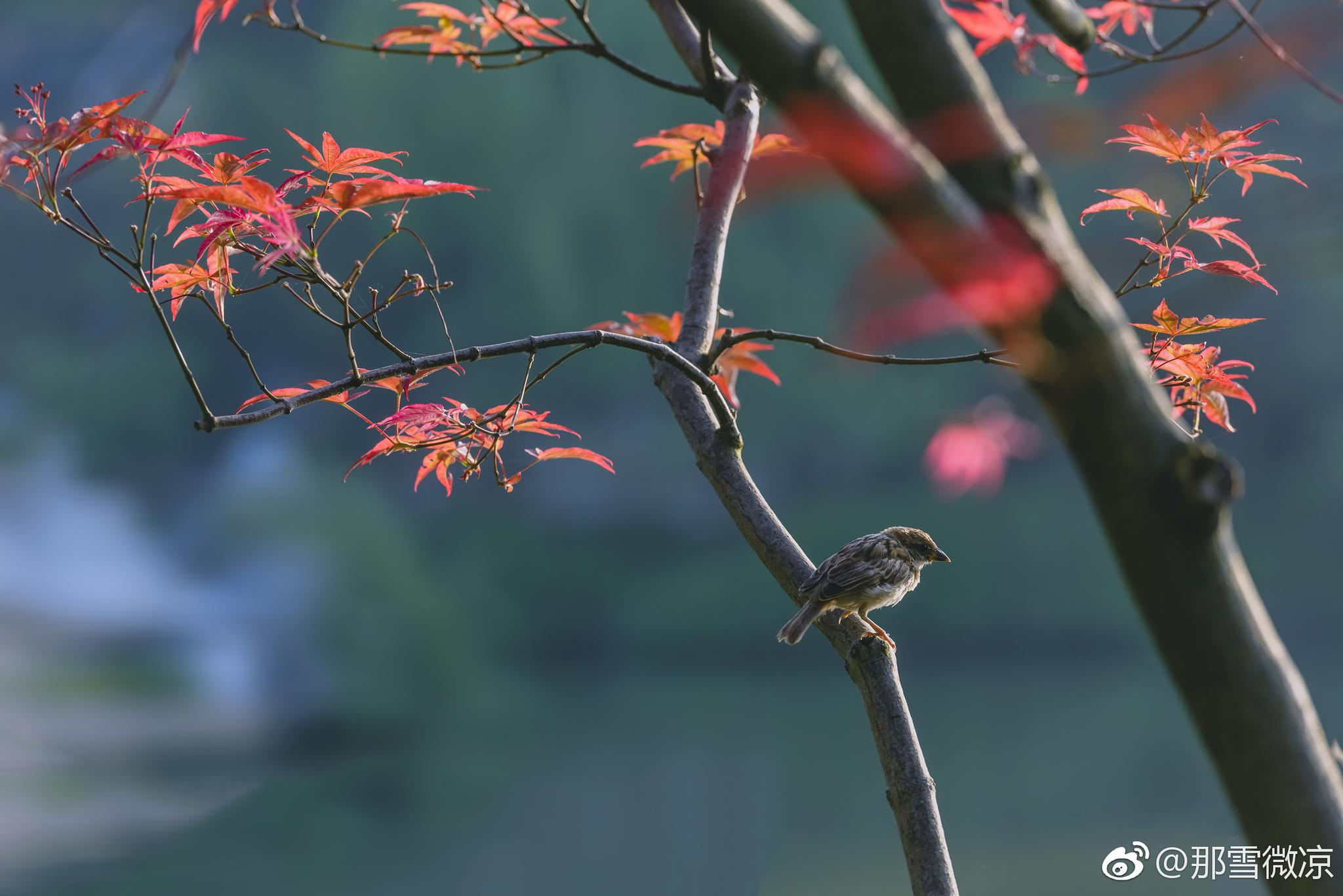 红叶是秋天最好的礼物 瘦西湖