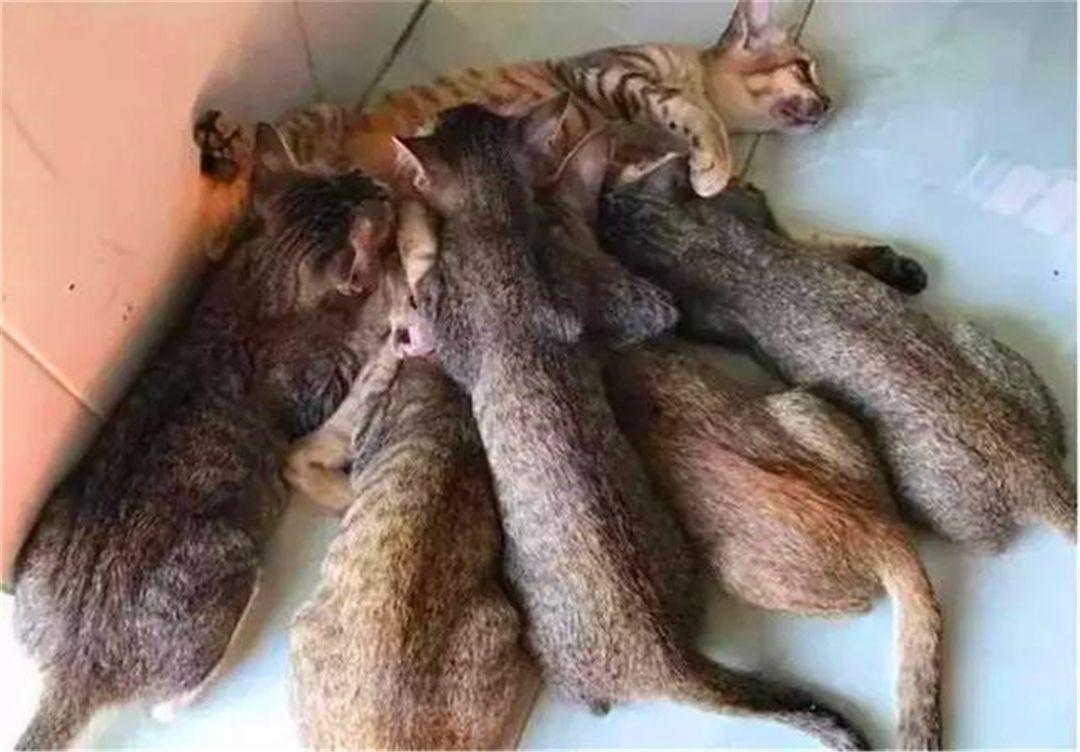 猫妈妈野狼中睡梦,捕杀醒来有五只大猫,细看下竟是跑来偷奶的!金雕如何发现身下图片