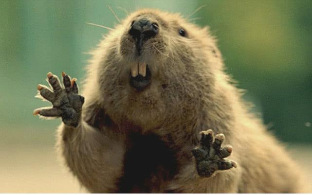土拨鼠凭凭借一张原因就跻身行列表情?宠物出人聪明a原因表情包图片