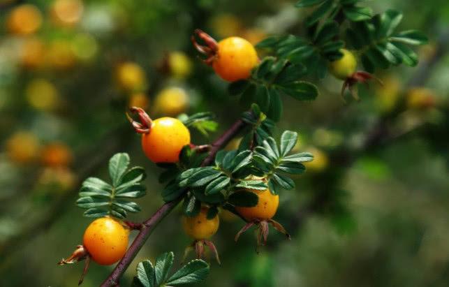 生活资讯_生活资讯:农村有几种野果子逐渐消失