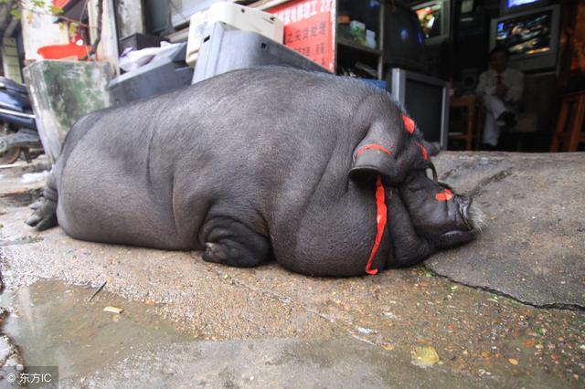春节猪的创意图画