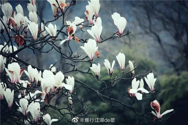 春天的玉兰花是莫干山随处可见的风景