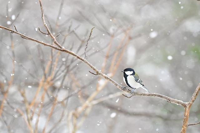 冬天的日本北海道,遍地都是可爱卖萌的小山雀||雨燕动物避震图片