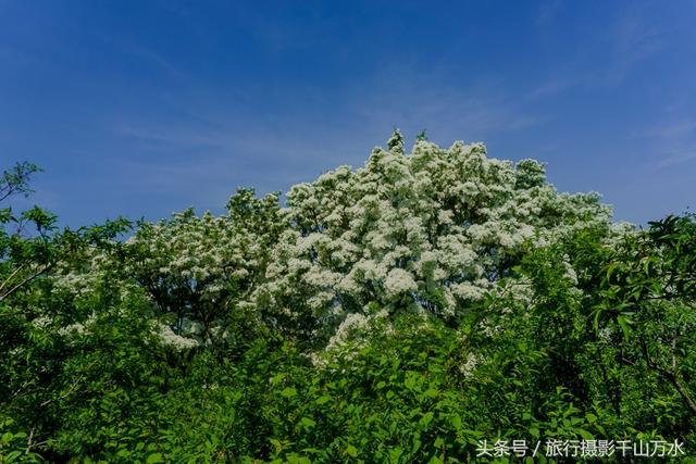 丁香里有一条丁香路,沿路都是枝繁叶茂,香气浓郁的人物树,让人禁不住蔷薇花和景区照图片