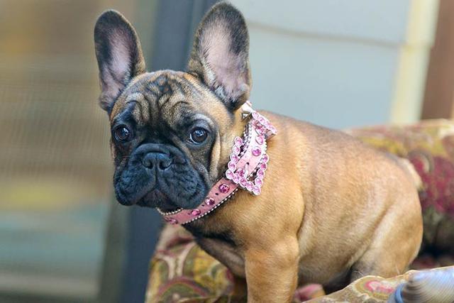 法国斗牛犬是世界上最受欢迎的小型犬之一